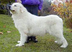 グレートピレニーズ親犬メス「サラ」