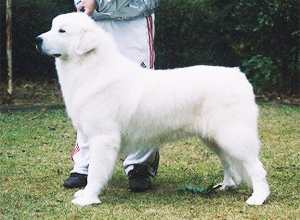 グレートピレニーズ親犬メス「ベラ」