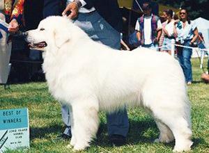 グレートピレニーズ親犬オス「シング」アメリカ・チャンピオン犬
