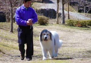 グレートピレニーズ親犬カイナと散歩