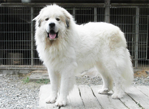 グレートピレニーズ親犬オス「カイラ」