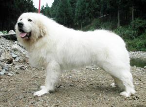 グレートピレニーズ親犬オス「ポール」