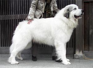 グレートピレニーズ親犬オス「ボリード」