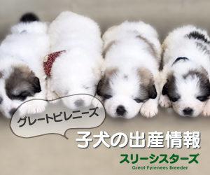 グレートピレニーズ子犬の出産情報