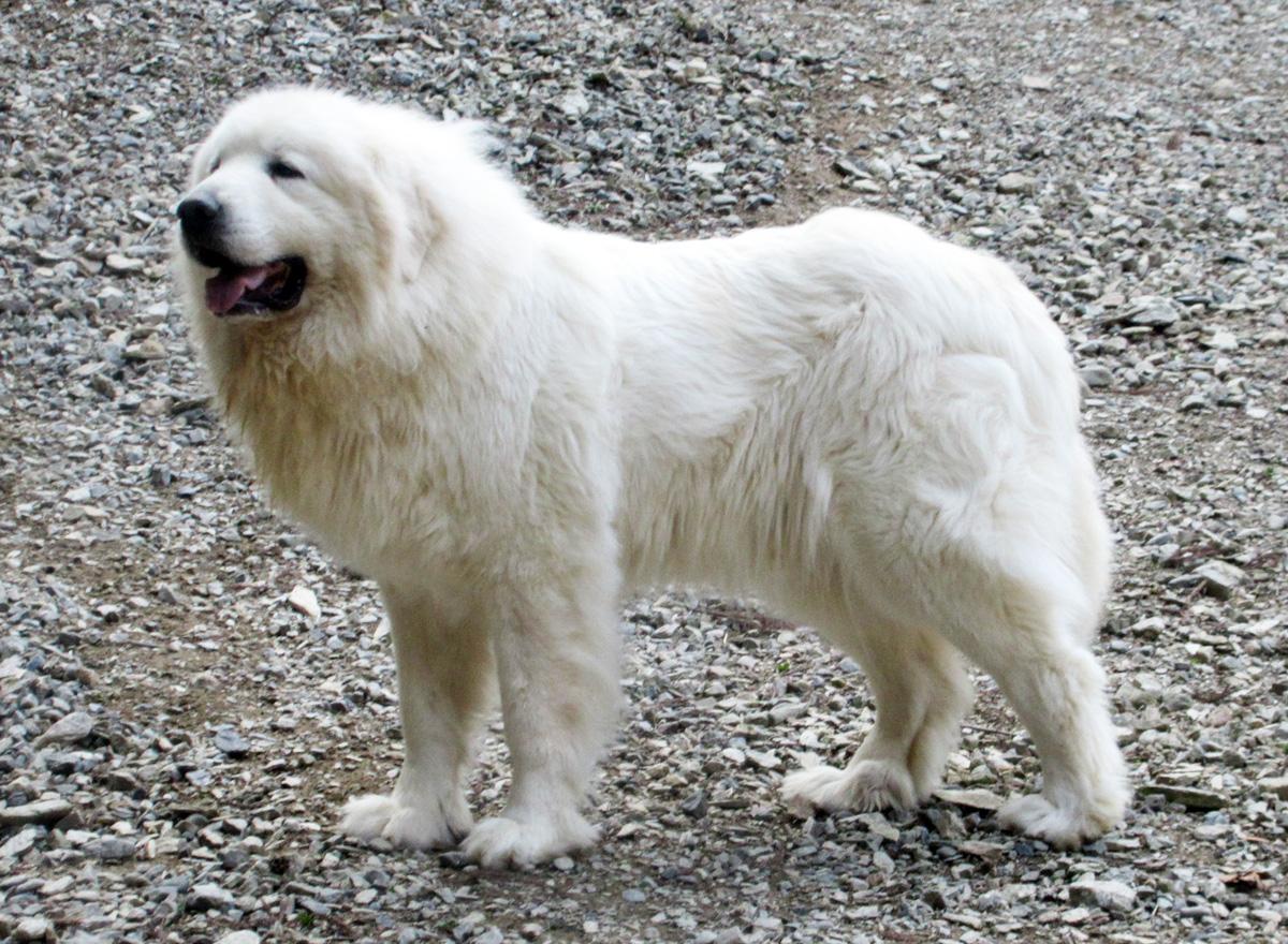 グレートピレニーズ親犬メス「デンバー」