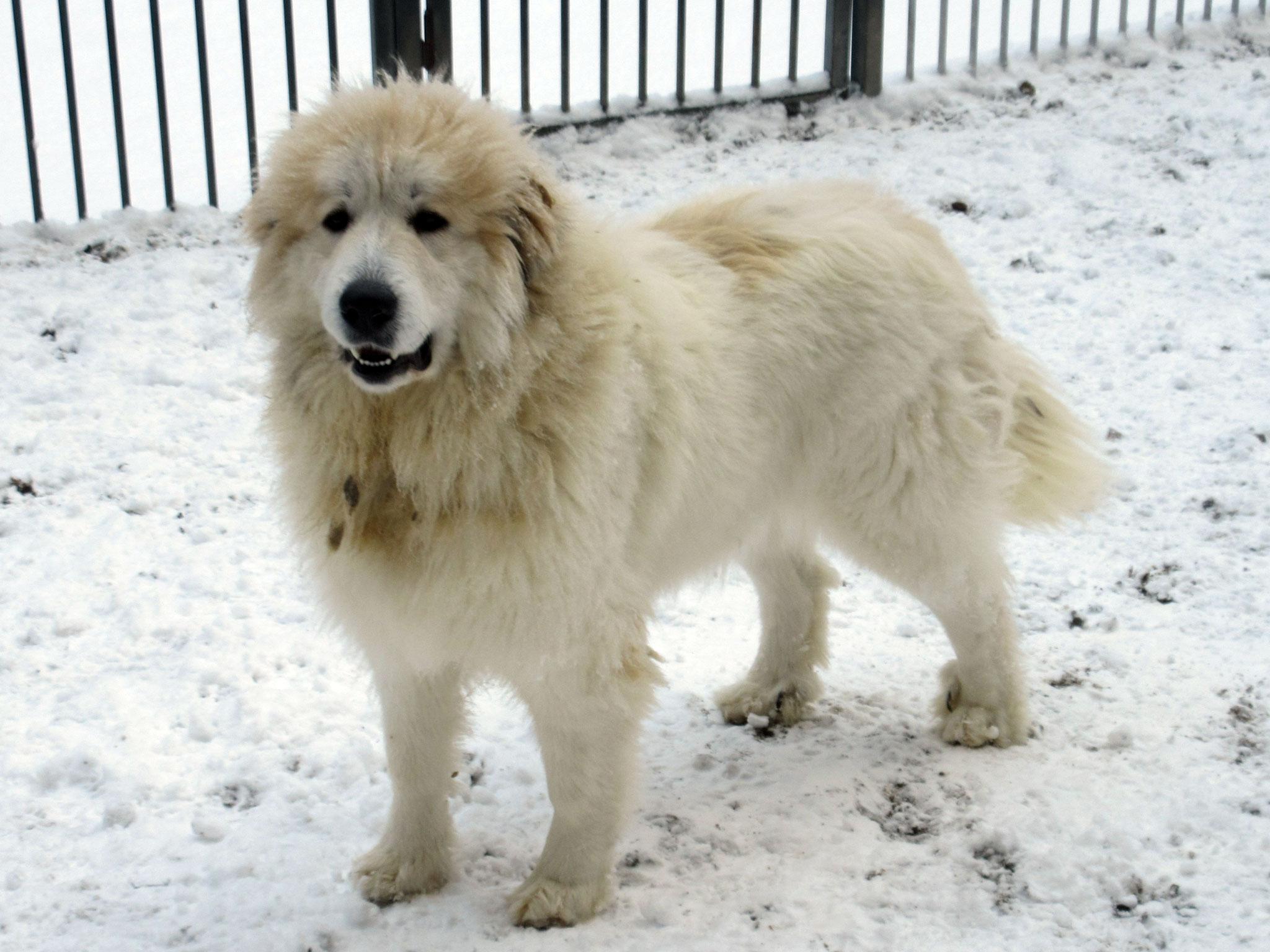 グレートピレニーズ親犬メス「リオ」
