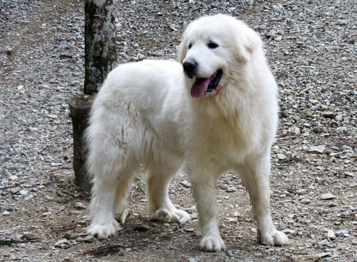 グレートピレニーズ親犬メス「ナナ」