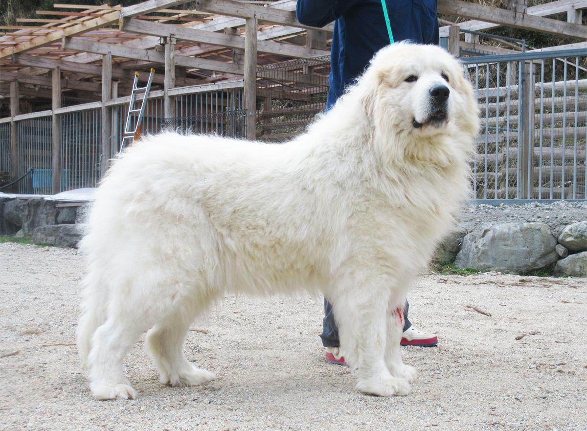 グレートピレニーズ親犬オス「ケイ」