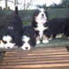 バーニーズの子犬が産まれております。オーナー様募集致します。