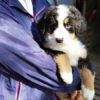 2月22日にバーニーズの子犬が産まれています。