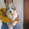 11月21生の子犬達、大きくなりました。オーナー様募集致します。